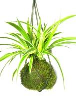 Wild spider hanging plant